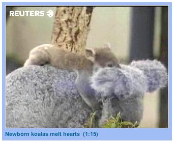 Koala_tocks_1